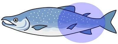 鮭 しっぽ部分