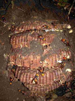 オオスズメバチの巣