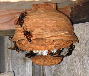 ヒメスズメバチの巣
